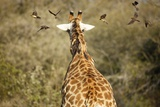 Redbilled Oxpeckers on Giraffe, South Africa Photographic Print by Richard Du Toit