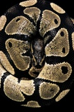 Python Regius (Royal Python, Ball Python) Photographic Print by Paul Starosta
