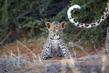 Leopard Cub, South Africa Photographic Print by Richard Du Toit