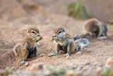 Ground Squirrel, South Africa Photographic Print by Richard Du Toit