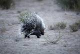 Porcupine, South Africa Photographic Print by Richard Du Toit
