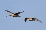 Marbled Godwits in Flight Photographic Print by Hal Beral