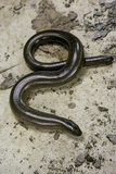 Anguis Fragilis (Slow Worm) - Male Photographic Print by Paul Starosta