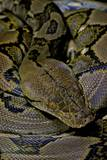 Python Reticulatus (Reticulated Python) Photographic Print by Paul Starosta