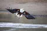 Fish Eagle, South Africa Photographic Print by Richard Du Toit