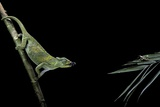 Chamaeleo Johnstoni (Johnston's Chameleon) - Capturing an Insect Reproduction photographique par Paul Starosta