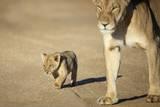 Lioness and Cub, Botswana Photographic Print by Richard Du Toit