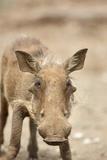 Warthog, South Africa Fotografisk tryk af Richard Du Toit