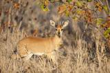 Steenbok Ram, South Africa Photographic Print by Richard Du Toit