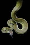 Apodora Papuana (Papuan Python) Photographic Print by Paul Starosta