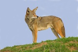 Coyote Photographic Print by Hal Beral