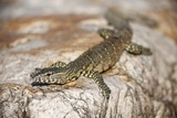 Water Monitor Lizard, South Africa Photographic Print by Richard Du Toit