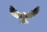 White-Tailed Kite Hovering Photographic Print by Hal Beral