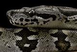 Acrantophis Dumerili (Dumeril's Madagascan Boa) Photographic Print by Paul Starosta
