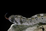 Echis Ocellatus (African Saw-Scaled Viper) Photographic Print by Paul Starosta