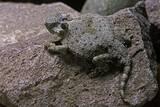 Phrynosoma Modestum (Roundtailed Horned Lizard) Photographic Print by Paul Starosta