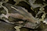 Python Molurus Molurus (Asiatic Rock Python) Photographic Print by Paul Starosta