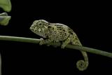 Chamaeleo Johnstoni (Johnston's Chameleon) - Young Photographic Print by Paul Starosta