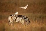 Cattle Egret Ride on Zebras Photographic Print by Richard Du Toit