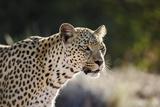 Leopard, South Africa Photographic Print by Richard Du Toit