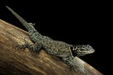 Sceloporus Jarrovii (Yarrow's Spiny Lizard) - with Two Tails Photographic Print by Paul Starosta
