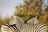 Zebra Back to Back, South Africa Photographic Print by Richard Du Toit