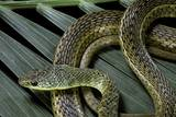 Psammophis Sibilans (Striped Sand Racer) Photographic Print by Paul Starosta