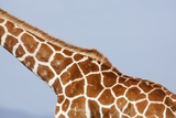 Reticulated Giraffe Neck, Kenya Photographic Print by Richard Du Toit