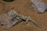 Stenodactylus Sthenodactylus (Elegant Gecko, Lichtenstein's Short-Fingered Gecko) Reproduction photographique par Paul Starosta