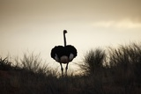 Ostrich Silhouette, South Africa Reproduction photographique par Richard Du Toit