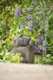 Chacma Baboon Eating Flowers, South Africa Photographic Print by Richard Du Toit