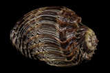 Harpa Cabriti Photographic Print by Paul Starosta