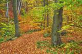 Hiking Trail in Beech Forest in Autumn Photographic Print by Frank Krahmer