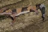 African Fat Tail Gecko Reproduction photographique par Joe McDonald