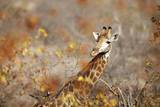 Giraffe in Mopani Trees, South Africa Photographic Print by Richard Du Toit