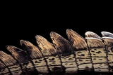 Gavialis Gangeticus (Gharial) - Tail Photographic Print by Paul Starosta
