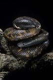 Calabaria Reinhardtii (Calabar Ground Python, African Burrowing Python) Photographic Print by Paul Starosta