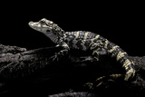 Alligator Sinensis (Chinese Alligator) Photographic Print by Paul Starosta