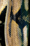 Python Reticulatus (Reticulated Python) - Scales Photographic Print by Paul Starosta