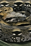 Acrantophis Madagascariensis (Madagascan Boa) Photographic Print by Paul Starosta