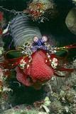 Peacock Mantis Shrimp Full of Eggs Photographic Print by Hal Beral
