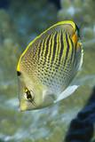 Dot & Dash Butterflyfish Photographic Print by Hal Beral