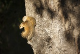 Tree Squirrels, South Africa Photographic Print by Richard Du Toit
