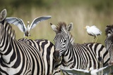 Cattle Egrets Ride on Zebras, South Africa Photographic Print by Richard Du Toit