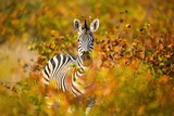 Zebra in Mopani Forest, South Africa Photographic Print by Richard Du Toit
