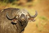 Buffalo Bull, South Africa Photographic Print by Richard Du Toit