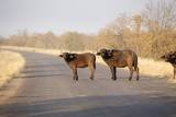 Buffalo on Tar Road, South Africa Photographic Print by Richard Du Toit