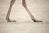 Ostrich Feet, South Africa Photographic Print by Richard Du Toit