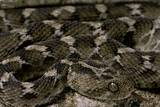 Echis Leucogaster (Roman's Saw-Scaled Viper) Photographic Print by Paul Starosta