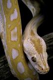Python Molurus Bivittatus F. Labyrinth Albino Photographic Print by Paul Starosta